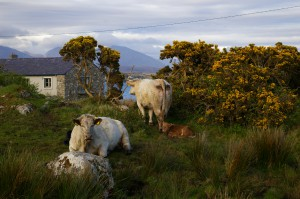Ireland cattle